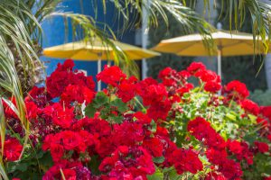 Red flowers and umbrellas